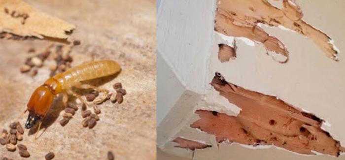 Gambar-Jenis-rayap-kayu-kering-vs-rayap-kayu-basah-dan-tanah.png