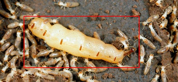 Gambar-cara-mencari-ratu-rayap.png