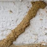 Rayap Tanah: Klasifikasi, Karakteristik, dan Cara Membasminya