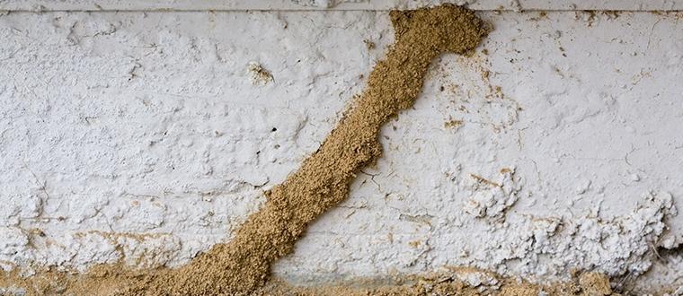 Gambar-karakteristik-rayap-tanah.png